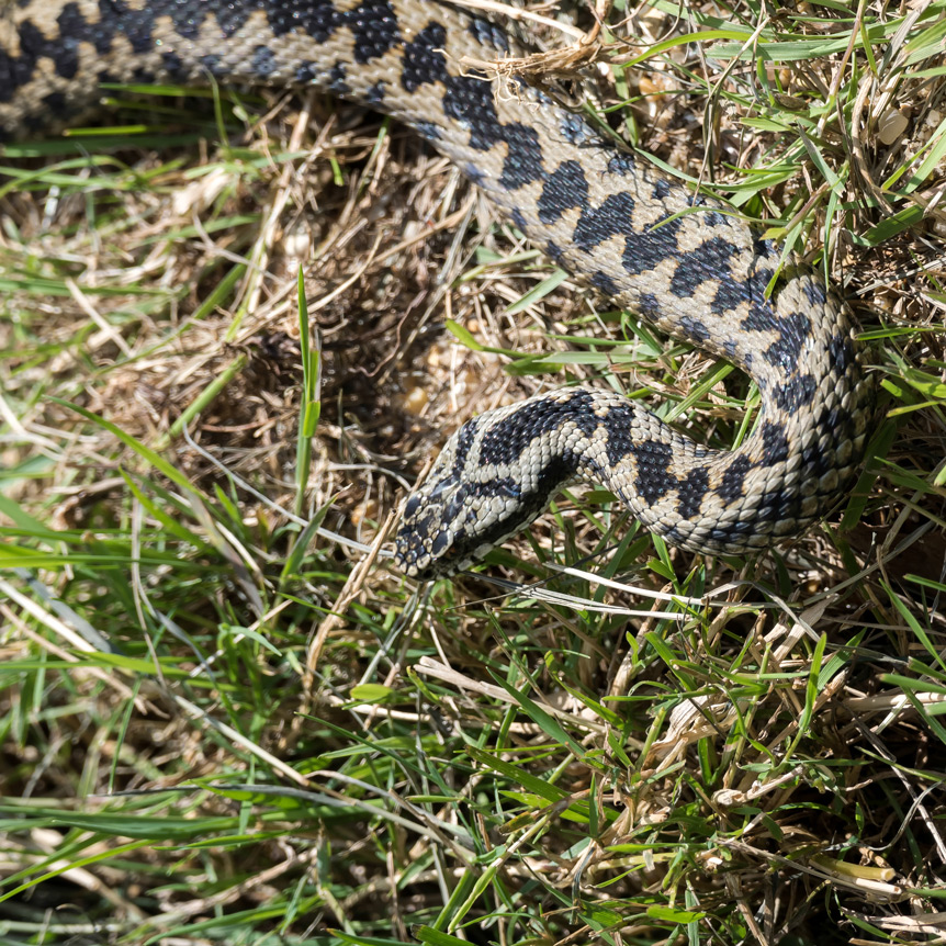 Pet Dangers : Adders (UK Snakes)