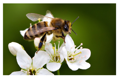 Poisonous to pets: Bee stings