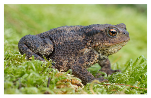 Poisonous to pets: The common toad and the natterjack toad